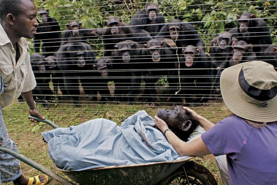 Chimpanzees look on in grief at the burial of one of their own. [תמונת היום - פברואר 2011]