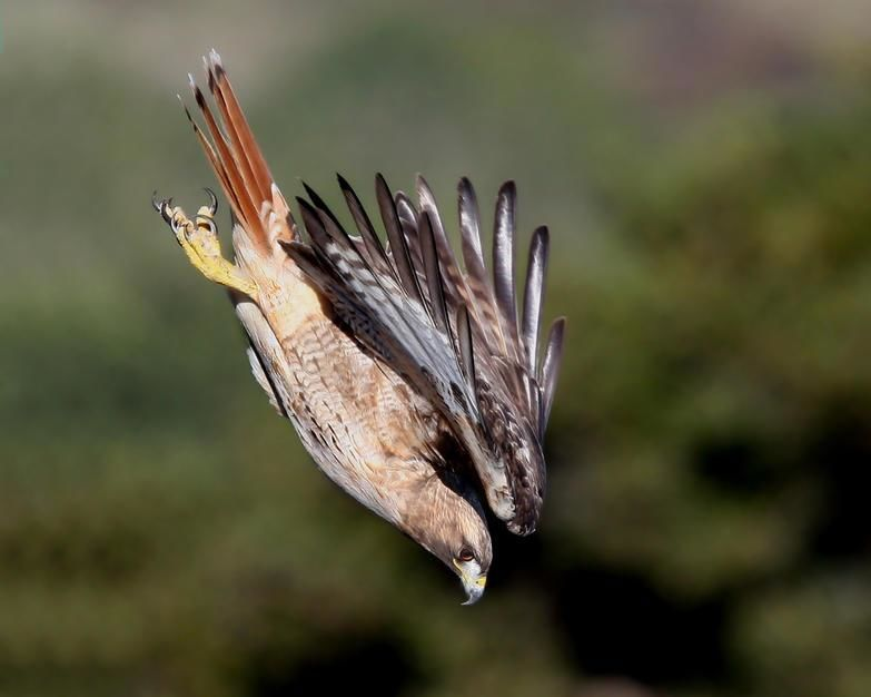 A red tailed hawk dives for prey in Half Moon Bay, California. [Foto do dia - Fevereiro 2011]