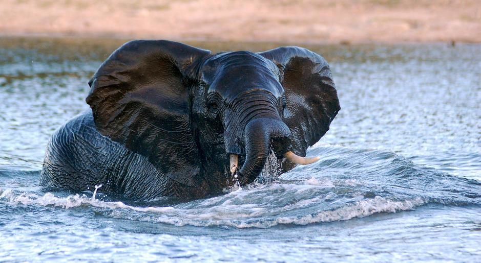 An elephant at the end of its swim across the Chobe River from Namibia to Botswana. [Photo of the day - פברואר 2011]