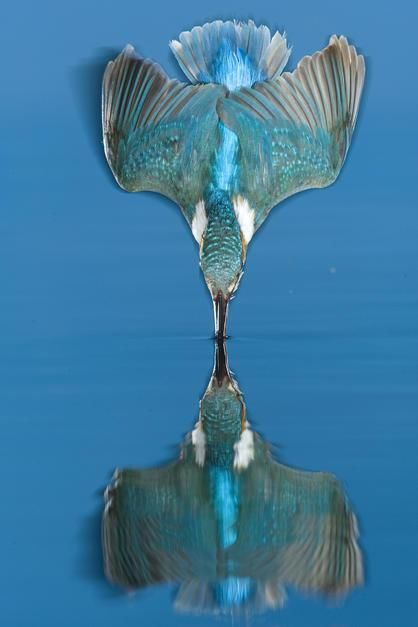 An adult male common kingfisher dives into the water in Labod. Hungary. [Dagens foto - augusti 2011]