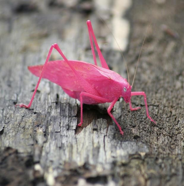 A pink Katydid. Usually grey, this is a 1 in 500 mutation. National Preserve, Beverley Shores, I... [Foto do dia - Fevereiro 2011]