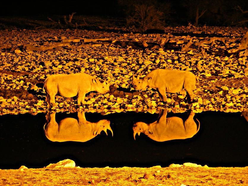 Two Rhinoceros confronting each other are reflected by the water in Malvern, Victoria. [Foto do dia - Fevereiro 2011]