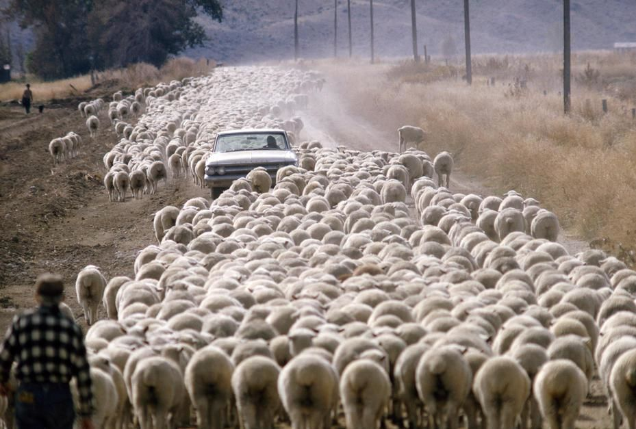 Honderden schapen blokkeren een auto op een stoffige zandweg in Wyoming.  [Photo of the day - februari 2011]