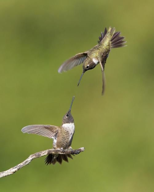 Two male Black-chinned Hummingbirds fight over a favourite perch in Poway, California. [Photo of the day - February 2011]