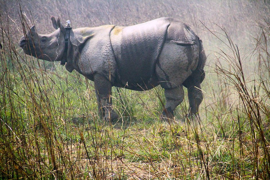 Nepal: A great Asian one-horned rhino stands after being tranquilized and collared by a team of... [Photo of the day - January 2014]