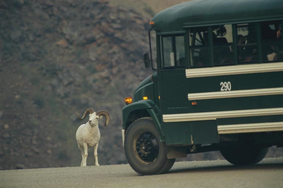 Un mouton de Dall ralentit un bus sur une route d'Alaska. [Photo of the day - février 2011]
