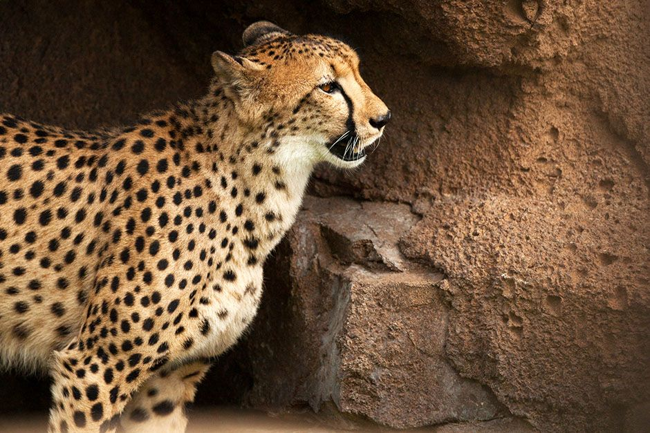 Man Vs. Cheetah is a scientific matchup between nature's fastest land mammal and NFL... [Photo of the day - February 2014]