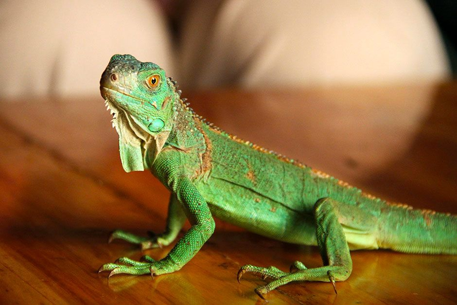 A small green lizard sitting on a table. This image is from David Attenborough's Rise of Animals. [Photo of the day - February 2014]