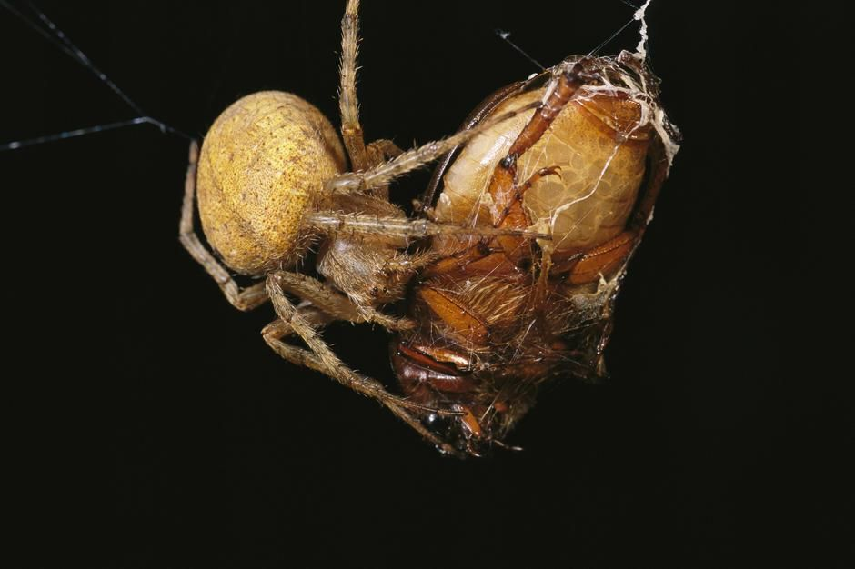 A spider wraps a beetle in strands of silk on Caroline Islands. [תמונת היום - פברואר 2011]