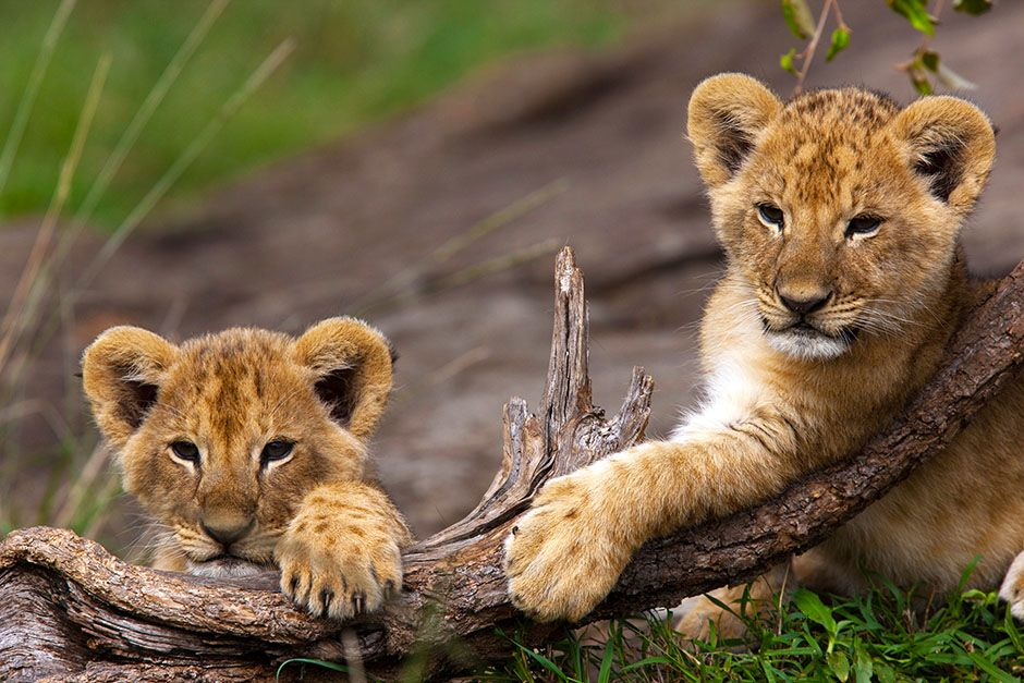 Masai Mara, Kenya: Two young male cubs play on a branch in the Masai Mara in Kenya.