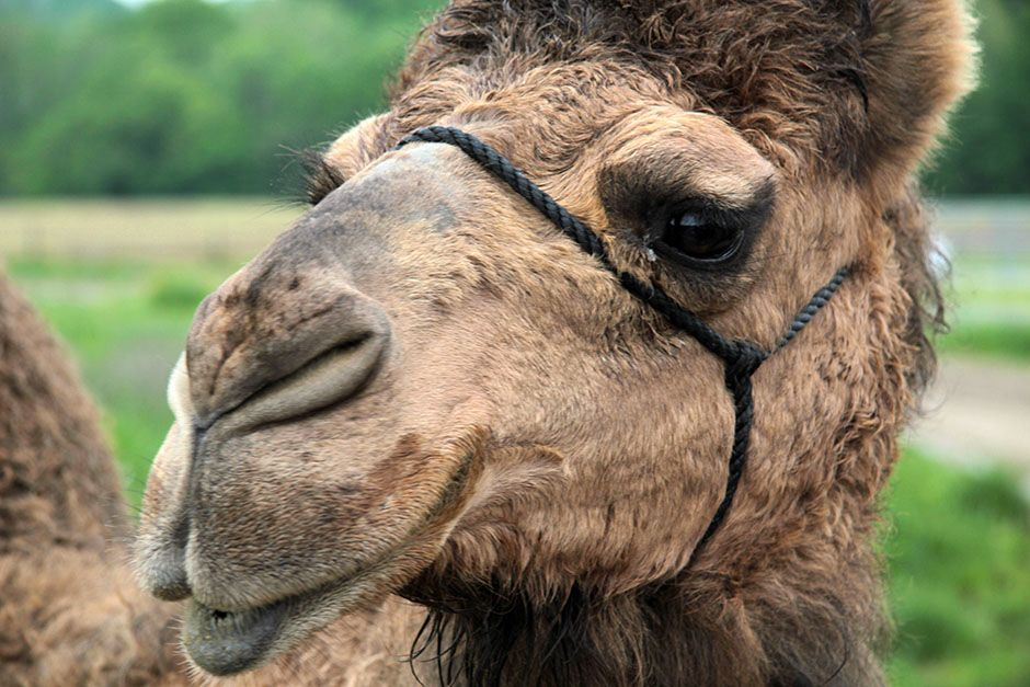 Butlerville, Indiana, USA: A close up of a camel. Unlike humans, camels can not engineer their... [Photo of the day - February 2014]