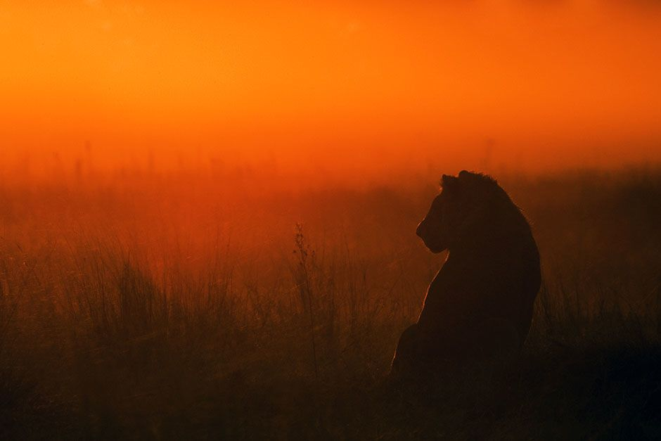 Duba Plains, Okavango Delta, Botswana: An adolescent male lion sits in the grasslands of the... [Photo of the day - February 2014]