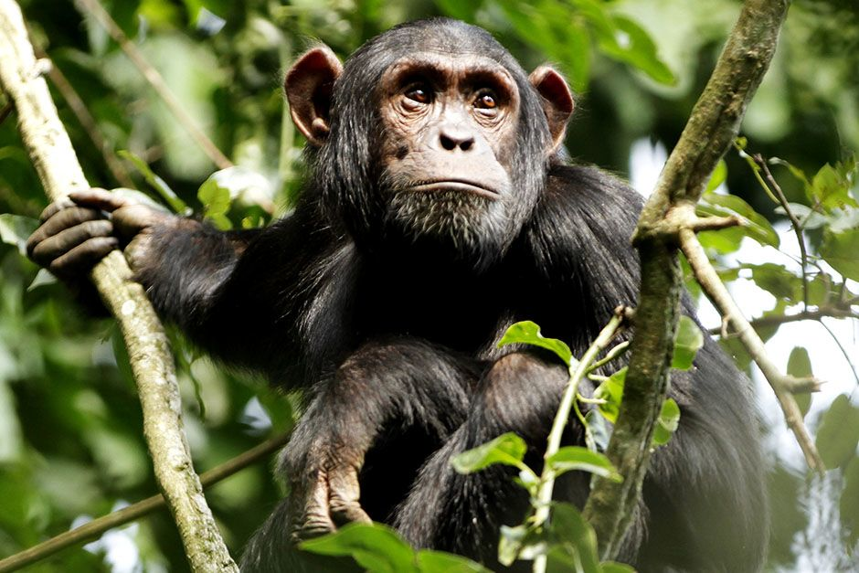 Kibale National Park, District Fort Portal, Republic of Uganda: A young male chimpanzee is waitin... [Photo of the day - März 2014]