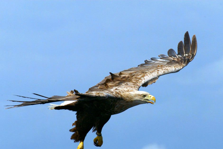Scotland: A large bird in flight with it's wings stretched. This image is from Wild Scotland: The... [Photo of the day - מרץ 2014]