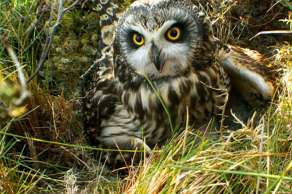 Scotland: An owl sitting in the log grass. This image is from Wild Scotland: The Western Isles. [Foto del día - marzo 2014]