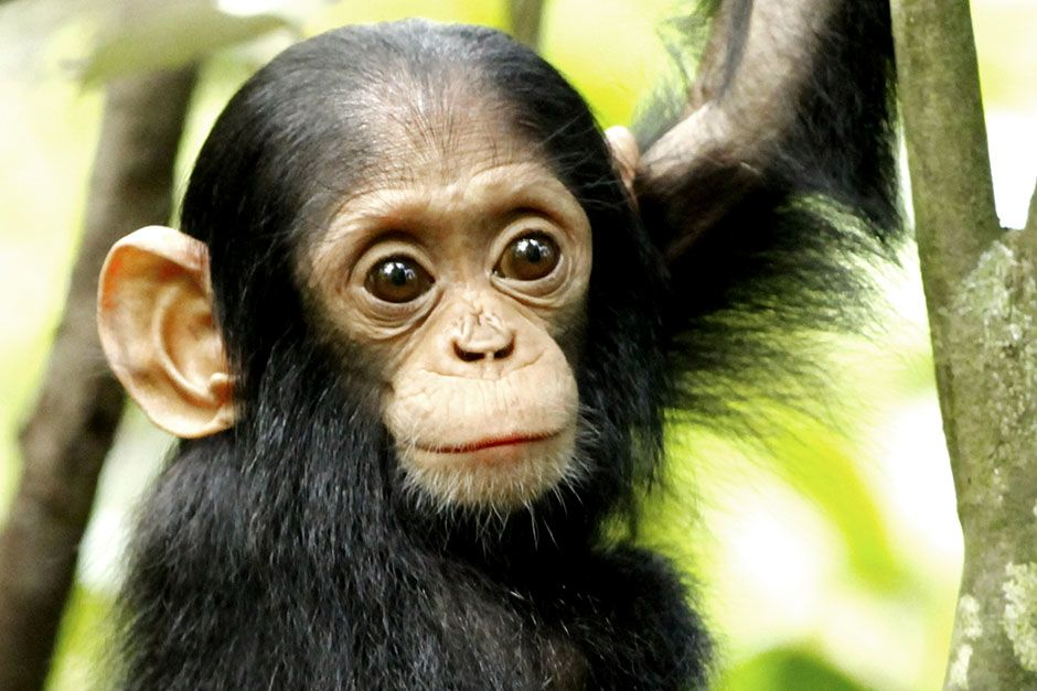Kibale National Park, District Fort Portal, Republic of Uganda: A young chimpanzee in Kibale... [Photo of the day - March 2014]