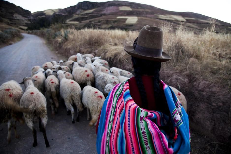 Traditionally dressed woman herds sheep down a road in  Sacred Valley. [Photo of the day - מרץ 2011]