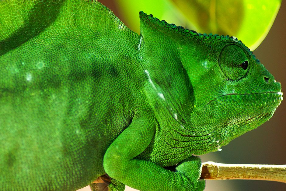 Berlin, Federal Republic of Germany: The crested chameleon's head extends, at the rear, into a... [Photo of the day - March 2014]