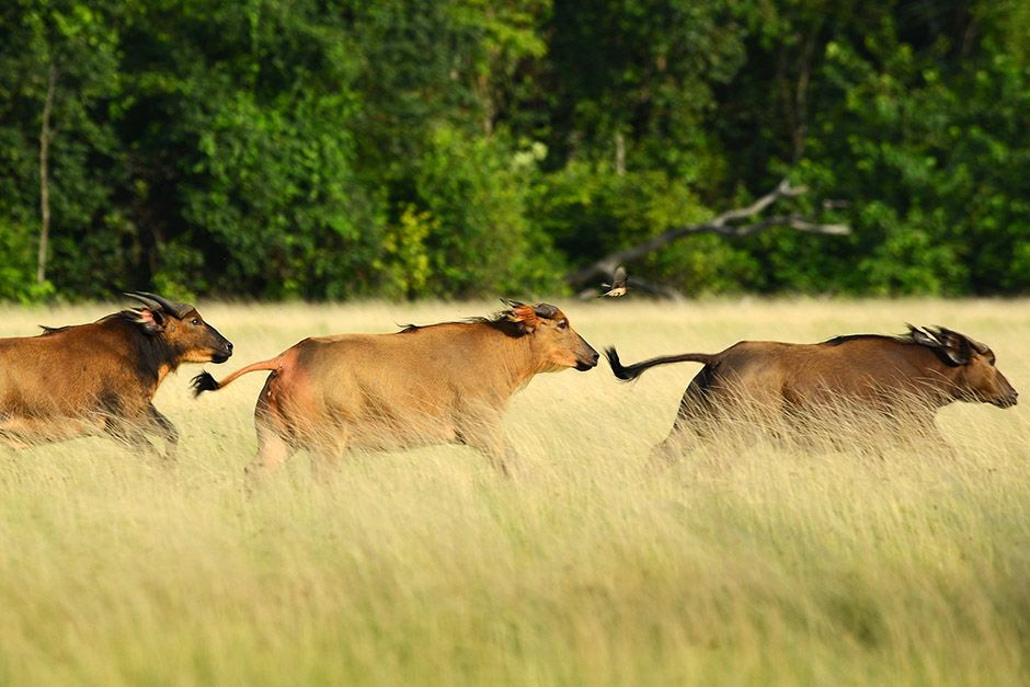 Three buffaloes running through a field in Gabon, Africa. This image is from Wild Gabon. [Photo of the day - April, 2014]