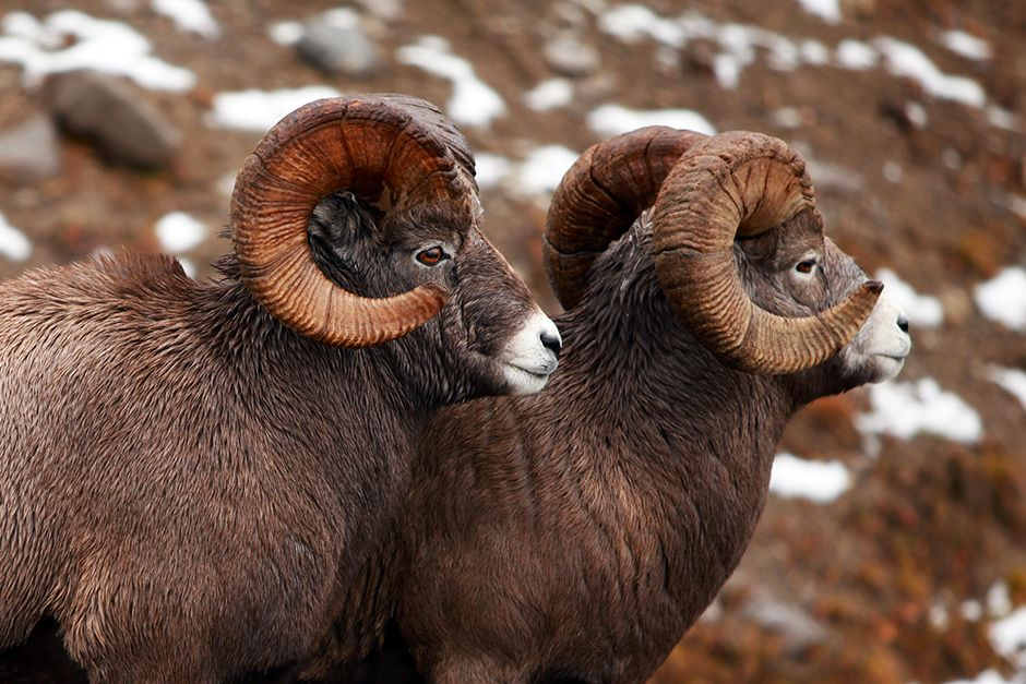 Mouflon d'Amérique, le parc national Jasper, en Alberta, au Canada. Cette image est tirée de Un... [Photo of the day - avril 2014]