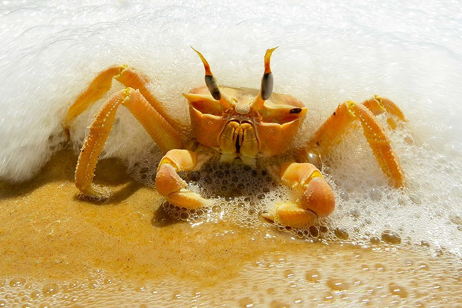 A crab in the sea foam on a beach in Gabon, Africa. This image is from Wild Gabon. [Photo of the day - آوریل 2014]