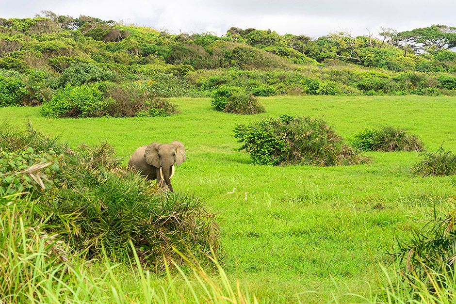 An elephant walks through bright green vegetation in Gabon, Africa. This image is from Wild Gabon. [Photo of the day - אפריל 2014]