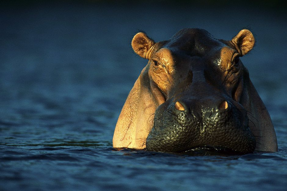 Loango National Park, Gabon, Africa: An adult hippopotamus standing in water. This image is from ... [Фото дня - Апрель 2014]