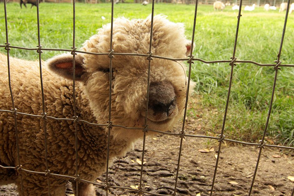 Temecula, California, United States: Natalie has many sheep on her farm, including this babydoll ... [Photo of the day - April, 2014]