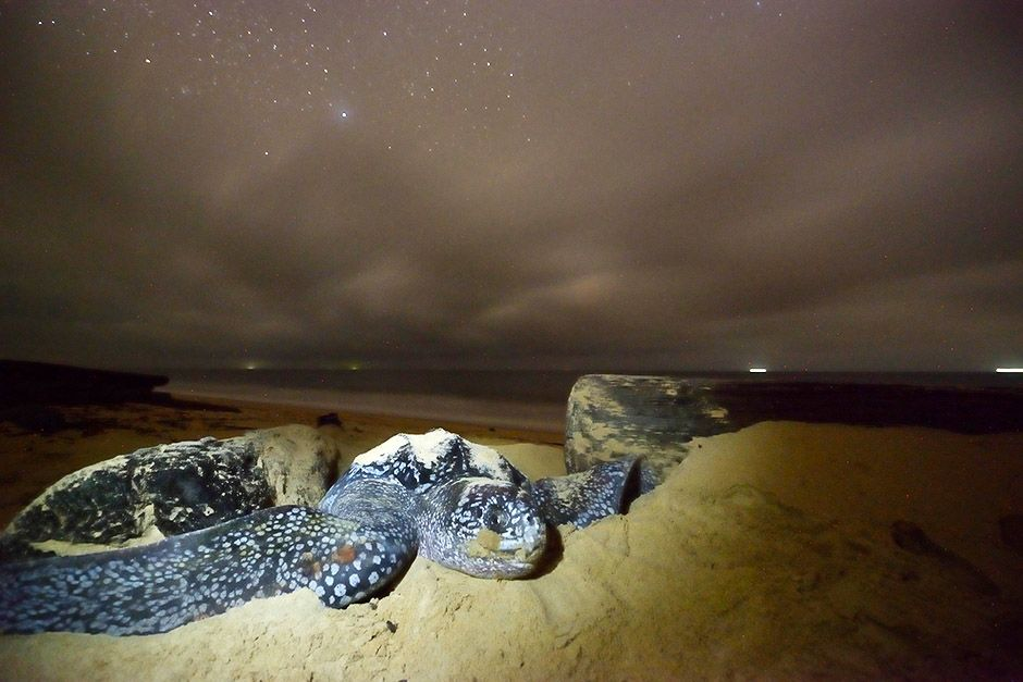 A female leatherback turtle pushes sand away to move toward her nesting site on a beach in Gabon,... [Photo of the day - april 2014]