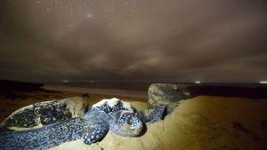 A female leatherback turtle pushes sa... [Фото дня - 19 АПРЕЛЬ 2014]