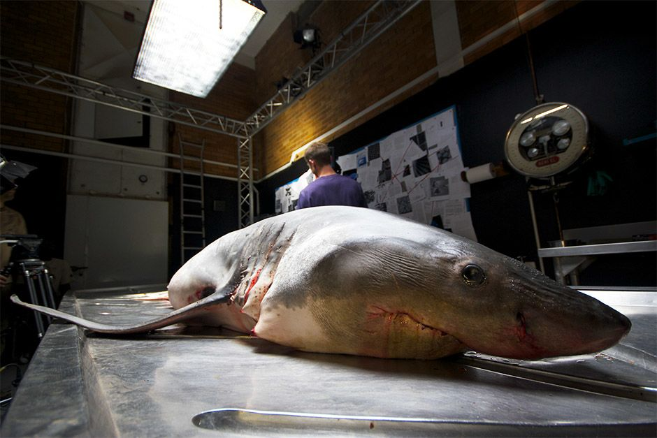 South Africa: Great white shark specimen on autopsy table. This image is from Great White Code Red. [Photo of the day - אפריל 2014]