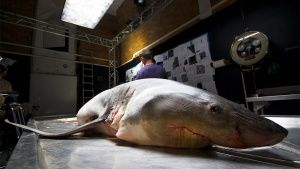 South Africa: Great white shark specimen on autopsy table. This image is from Great White Code Red. Фото дня - 21 Апрель 2014