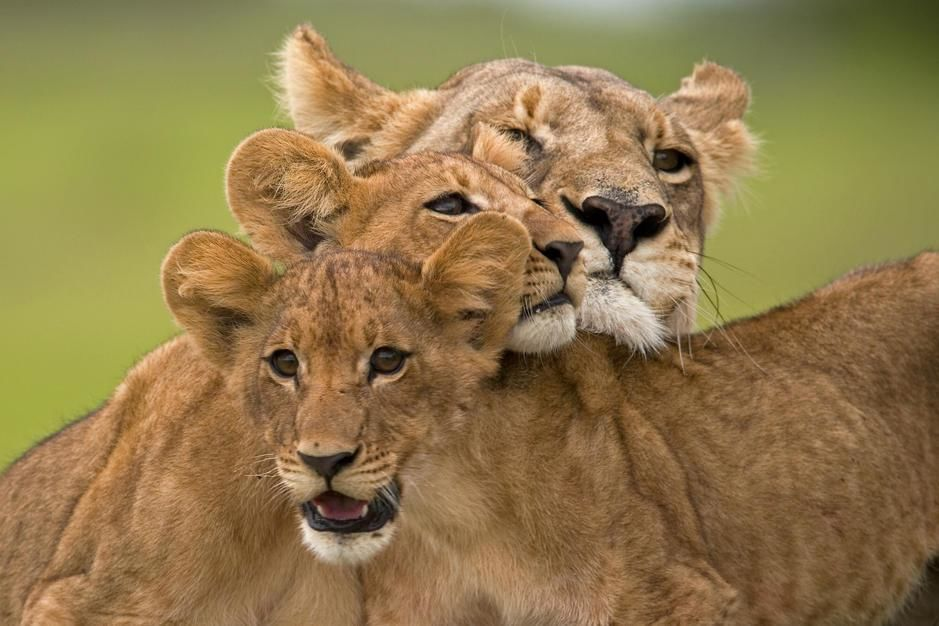 Portrait of a lioness with her cubs on the Duba Plains, Okavango Delta. [תמונת היום - מרץ 2011]