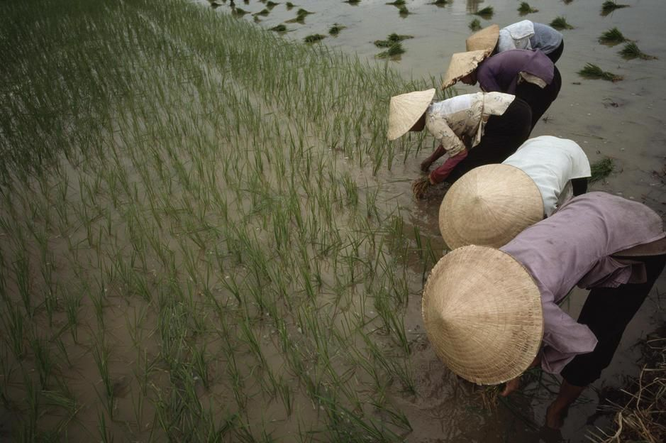 In the rich delta of Vietnam, women plant hybrid rice. [Foto do dia - Maro 2011]