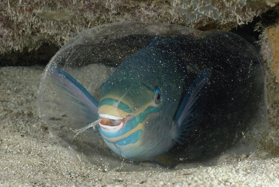 A queen parrotfish creates a protective sack from a secretion gland in George Town Harbour, Cayma... [תמונת היום - מרץ 2011]