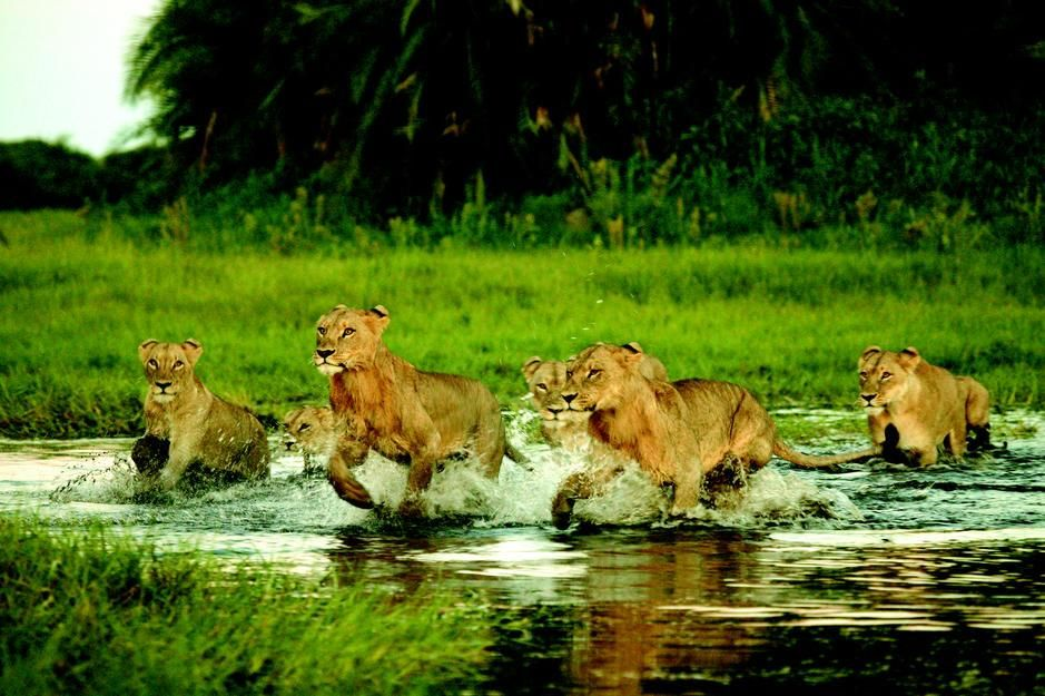 A group of lions cross a small stream in Okavango Delta. [תמונת היום - מרץ 2011]