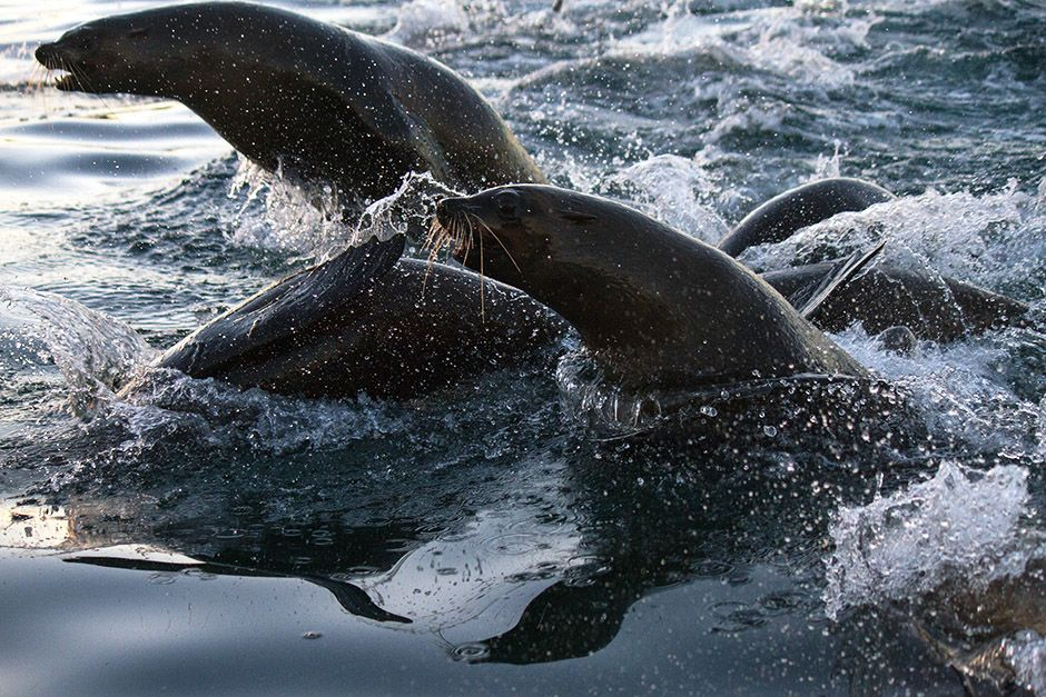 South Africa: Cape fur seals surfacing, breaching, and diving in the open ocean. This image is... [Photo of the day - April 2014]