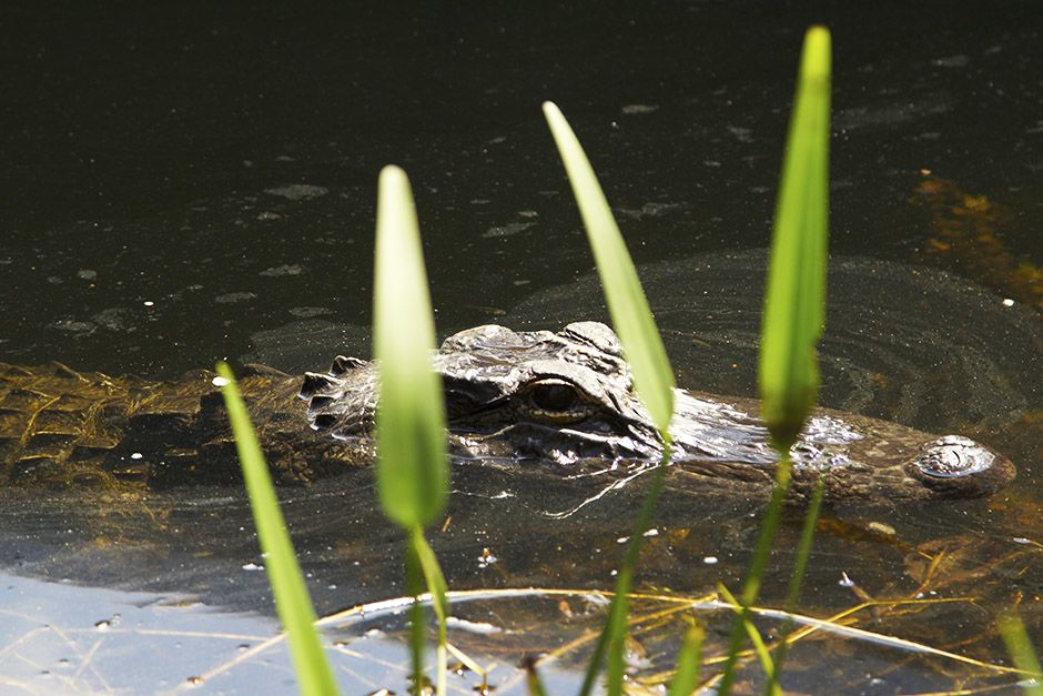 Miami, FL, USA: An alligator peeking out of the water. This image is from Access 360°: Everglades. [Photo of the day - April 2014]