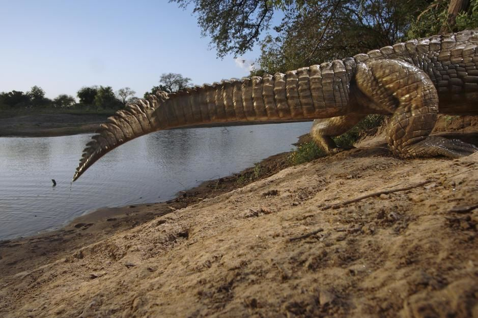 A remote camera captures the tail of a crocodile entering its den in Zakouma National Park. [תמונת היום - מרץ 2011]