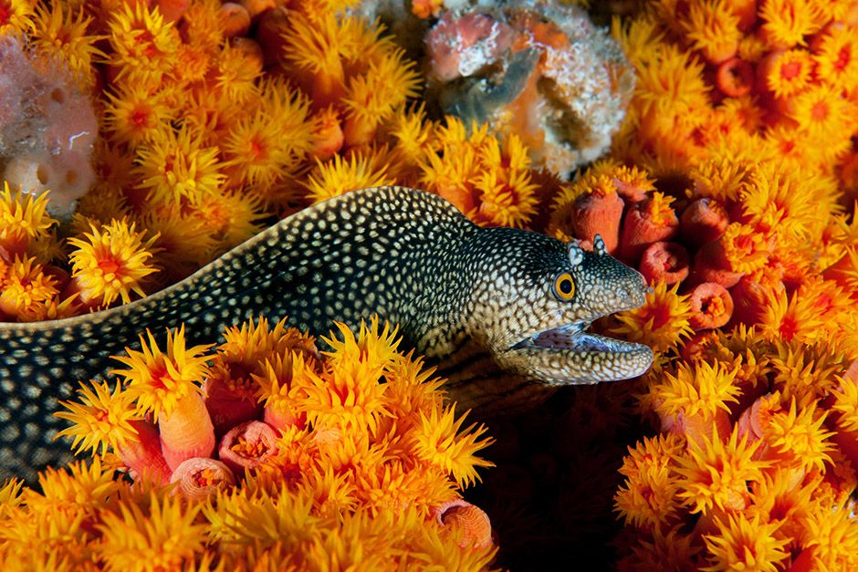 An eel slithers through a patchwork of coral covering the seafloor of Gabon, Africa. This image... [Photo of the day - April 2014]