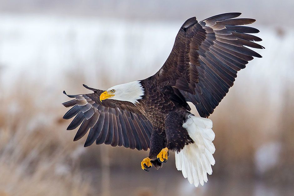 A bald eagle flying with its wings spread wide. This image is from Animals Gone Wild. [Photo of the day - May 2014]