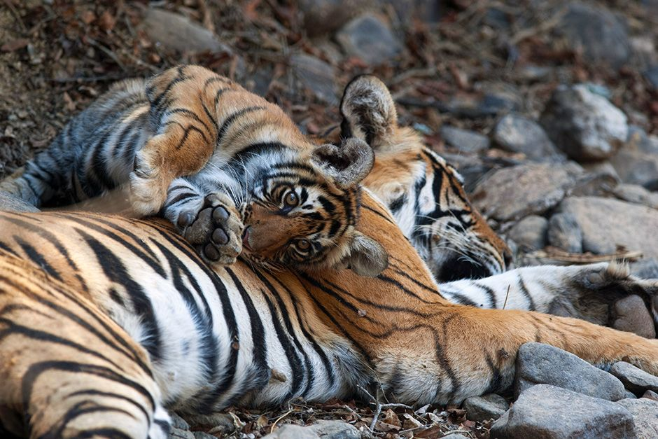 Rajbagh Area, Ranthambore National Park: Sundari cub with a sleeping Sundari. This image is from... [Photo of the day - May 2014]