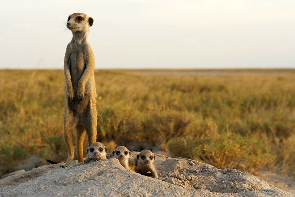 An adult meerkat babysits four pups at their burrow in the Makgadikgadi grasslands. This image... [Photo of the day - May 2014]