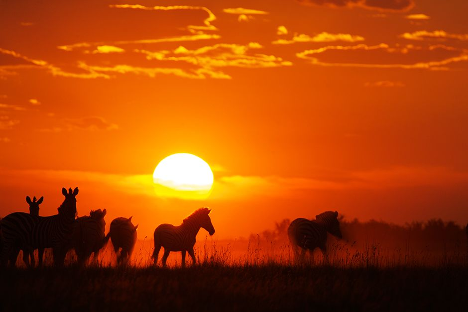 A herd of zebras at dusk in the Makgadikgadi grasslands. This image is from Wild Kalahari. [Photo of the day - May 2014]