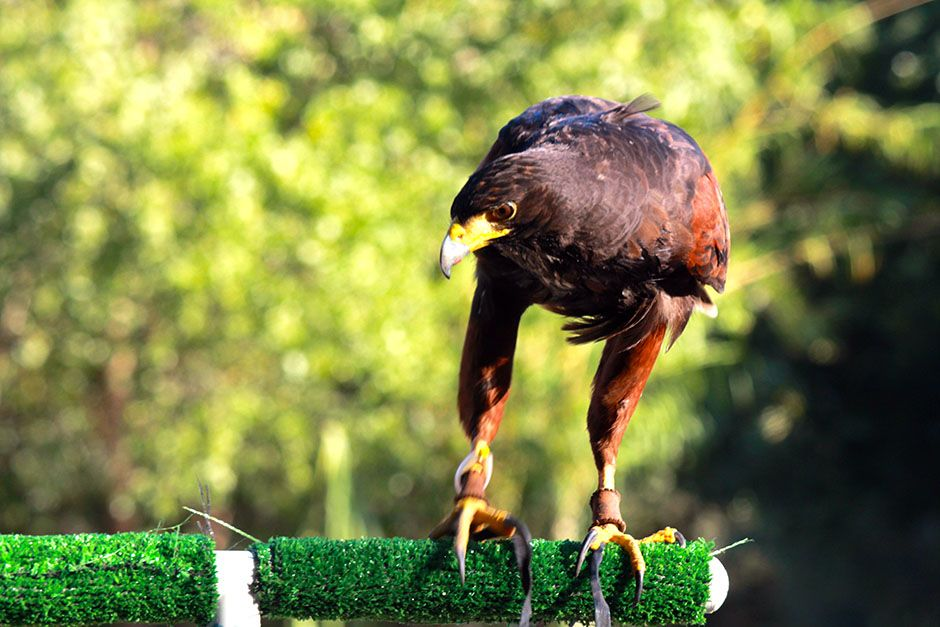 Agua Dulce, CA: The Harris hawk. This image is from Showdown of The Unbeatables. [Photo of the day - June 2014]