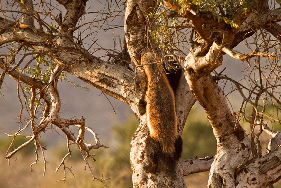 A honey badger climbing up a tree. This image is from Ultimate Honey Badger. [Photo of the day - June 2014]