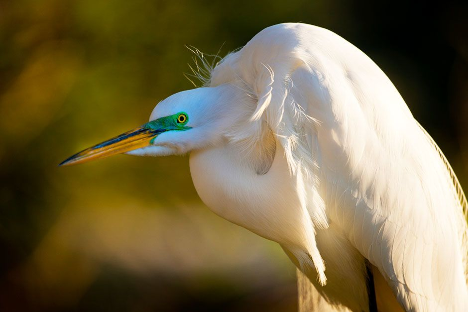 St. Augustine, FL: A white American egret sits. This image is from Wild Florida. [Photo of the day - June 2014]