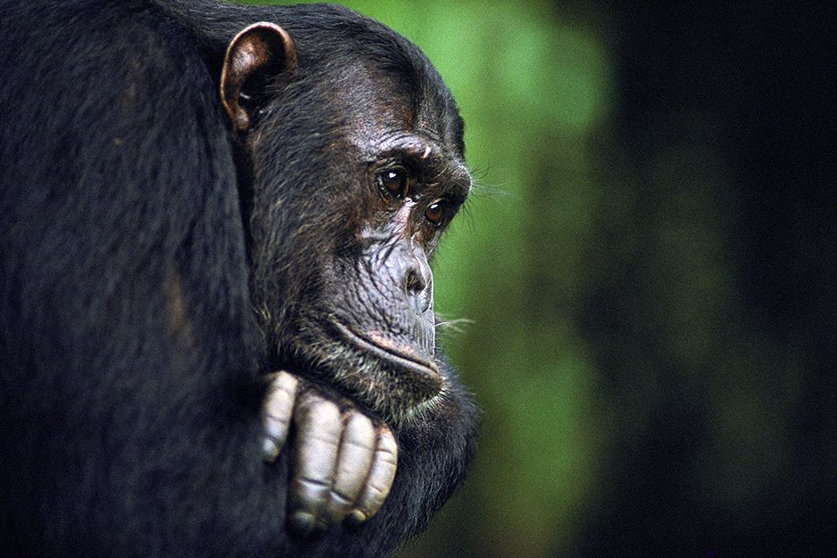 Frodo, a male chimpanzee, belongs to a family observed by Jane Goodall. This image is from Kingdo... [Фото дня - Июль 2014]