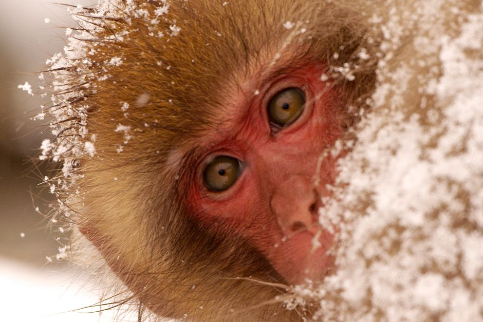 Jigokudani, Japan: A young monkey covered in snow looks to see if her sister is close by. Family ... [Фото дня - Июль 2014]