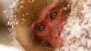 Jigokudani, Japan: A young monkey cov... [Photo of the day -  7 JULY 2014]